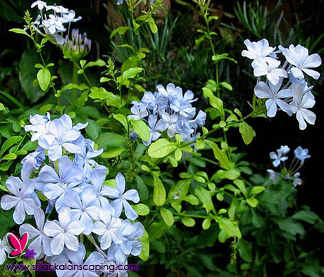 Srilanka plumbago flower plant landscaping sri lanka for Sri lankan landscaping plants