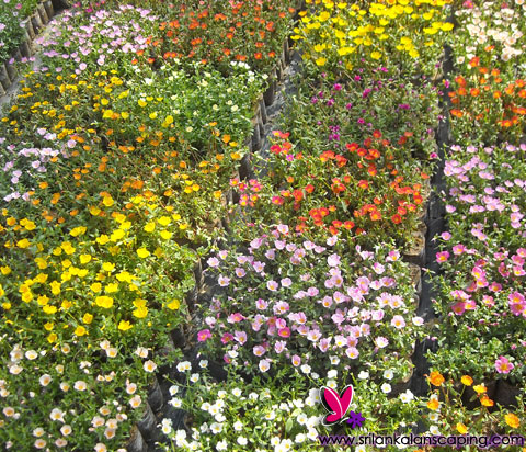 Sri lanka plants gardening plants flower plants for Sri lankan landscaping plants